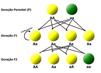Nesse caso, o diagrama está relacionado a cor da semente após a autofecundação de uma planta híbrida (Aa).