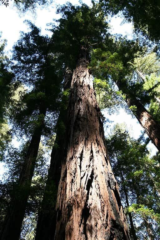 Sequoia sempervirens.