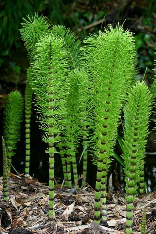 Equisetum telmateia, exemplo de pteridófita equisetopsida.