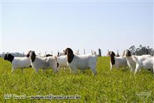 Cabras Novilhas da raça Boer