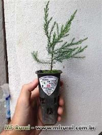 Sequóia-gigante (Sequoiadendron giganteum)