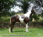 Mangalarga Marchador - cavalos, éguas, potros, pelagem pampa e sólida