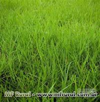 Sementes Brachiaria humidicolla
