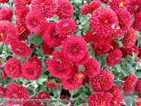 Flores, Crisântemo, Violetas, Orquídeas, Todos os Tipos Atacado e Varejo!