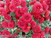 Flores, Cris�ntemo, Violetas, Orqu�deas, Todos os Tipos Atacado e Varejo!