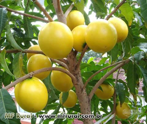 Mudas de frutas raras do cerrado