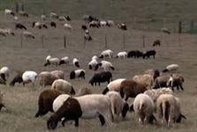 GOLDEN SHEEP E - RAÇÃO DE QUALIDADE PARA OVELHAS