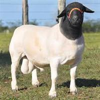 GOLDEN SHEEP REPRODUÇÃO - RAÇÃO PARA REPRODUTORES (CARNEIROS) ESPECIAL