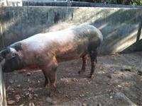 Venda de suínos na Bahia