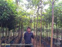 Mudas de árvores nativas  dap 2 a dap 7