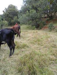 Girolanda vacas e novilhas