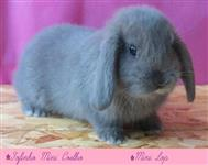 Mini Coelho - Mini Lop - Lion Head e Hermelin