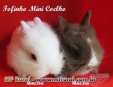 Mini Coelho - Coelho Anão