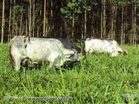 Plantel premiado Vacas e novilhas 1/2, ¾, 7/8 Girolando e Holandesa