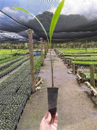MUDAS DE PALMEIRA IMPERIAL (Roystonea-oleracea)