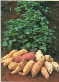 120 ramas batata-doce