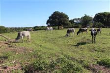 VENDO gado mestiço de GIR em Araruama Região dos Lagos - RJ