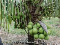 Coco Verde da Bahia Qualidade Comprovada