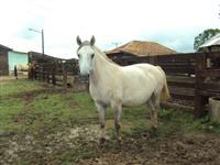 Égua sem registro, égua boa de laço e lida de campo, mansa de arreio