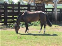Cavalo Crioulo pronto para provas funcionais e só por os arreios e competir