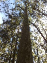 Eucalipto CITRIODORA mais de 45 anos Toras, Postes, Mourão, Madeira