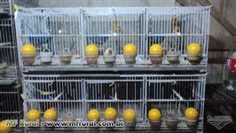 Criação de canário belga completa