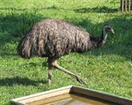 Emu australiano