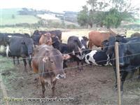 Vacas e Novilhas Cruzadas