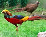 Aves Ornamentais Ovos Galados de Faisão