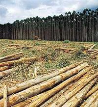 Compro floresta de eucalipto para lenha na regiao de São Jose do Rio Preto-SP