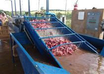 Máquinas para beneficiar, classificar, escolher, lavar e secar batata doce