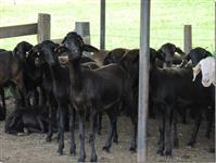 Vendo ovinos da Raça Santa Inês