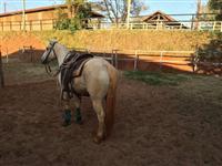 Cavalo baio de 6 anos