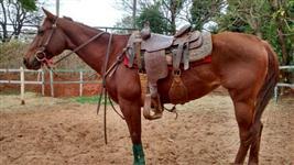 Égua castanha, 6 anos, quarto de milha pura