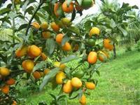 Mudas de laranja kinkan