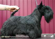 Scottish Terrier - O Cãozinho Simpatico da Antiga Casa Tavares