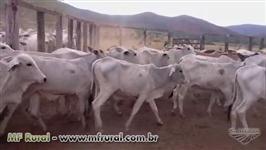 GARROTES/NOVILHAS/BEZERRAS/VACAS