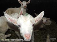Vendo Cabras Saanen de ótima procedencia e produção
