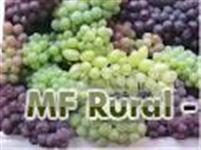 Uva itália, rubi, benitaka, Brasil. Direto da roça