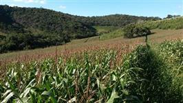 Silagem de Milho Região de Cruzília Sul de Minas