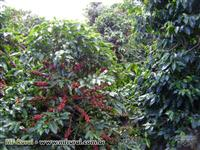 Fazenda de café - Brazopolis - MG
