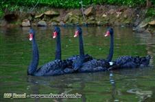 Casal jovem de Cisne Negro