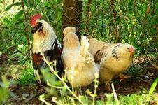 Ovos Galados de Galinhas Ornamentais
