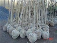Mudas de Espécies Nativas, Árvores de DAP, alturas 2 m, 3 m, 4 m  e mais