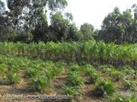 Palmeira Imperial de 2m a 4m de altura e plantas ornamentais