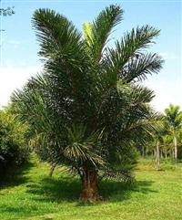 Palmeira Rafia