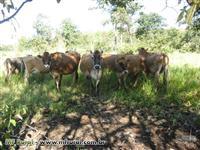 JERSEY - Vacas e Novilhas PRENHAS