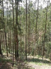 Terreno para reflorestamento em Salete SC com 5000 p�s eucalipto 250.000 m2