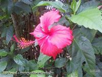 Mudas de Hibisco vermelho - Hibiscus rosa sinensis