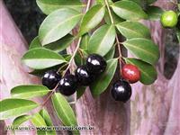 Mudas de Frutas Exóticas - Ornamentais Nobres mais de 100 espécies